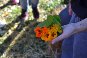 An edible bouquet of nasturtium flowers. The flowers are peppery like a radish and slightly sweet, due to their nectar.