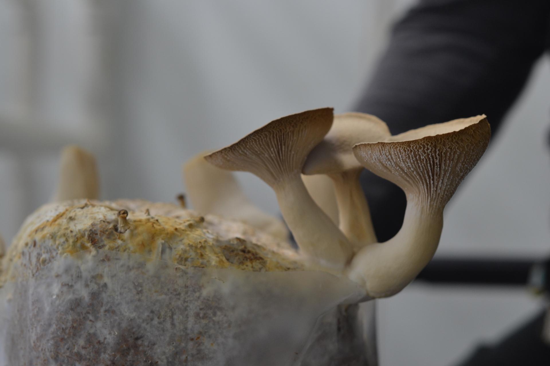 King Oyster mushrooms.