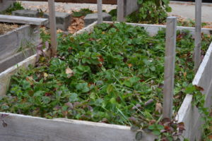 A raised garden bed teeming with strawberry plants.
