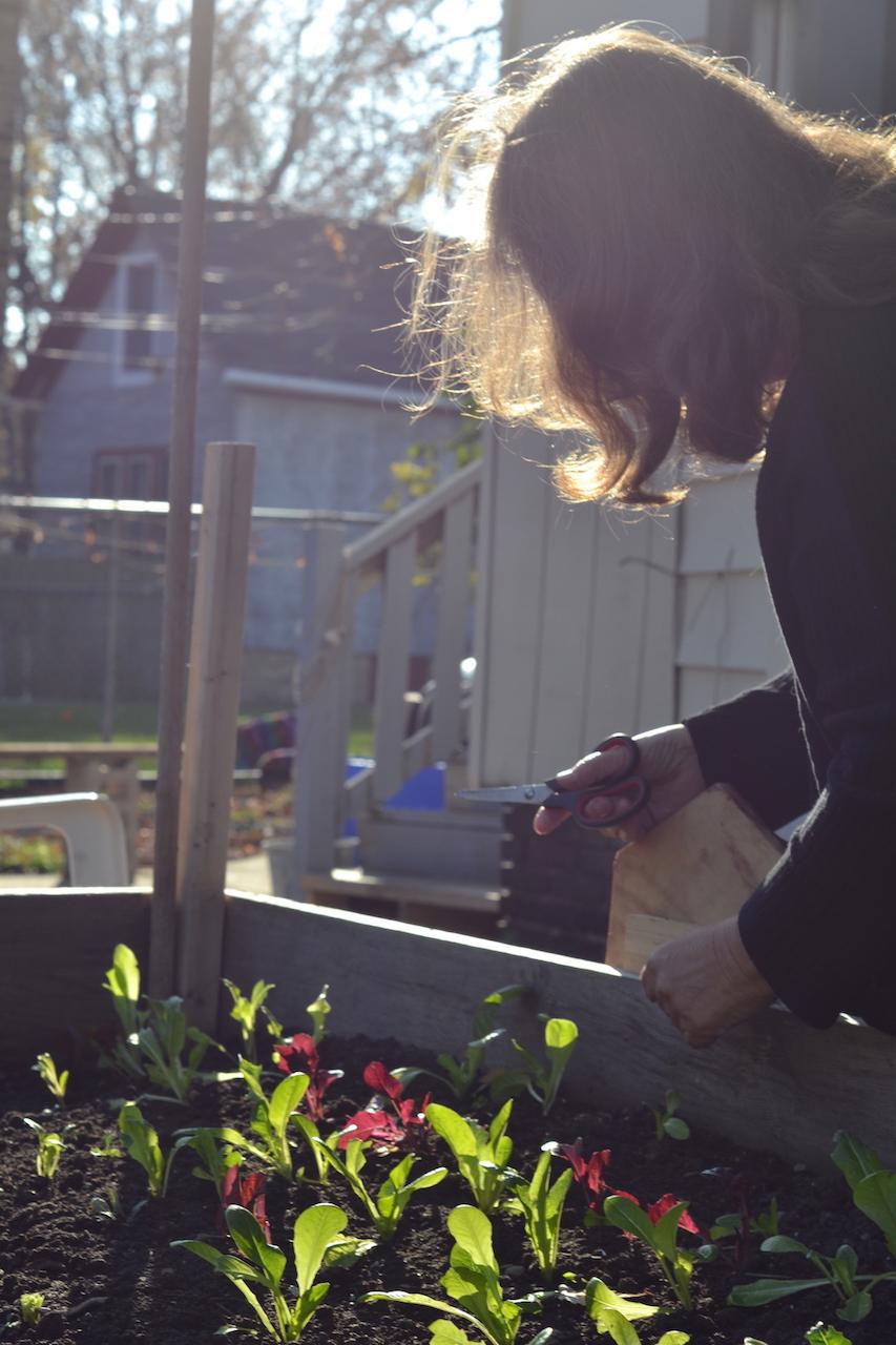 Christensen clipping fresh salad greens.