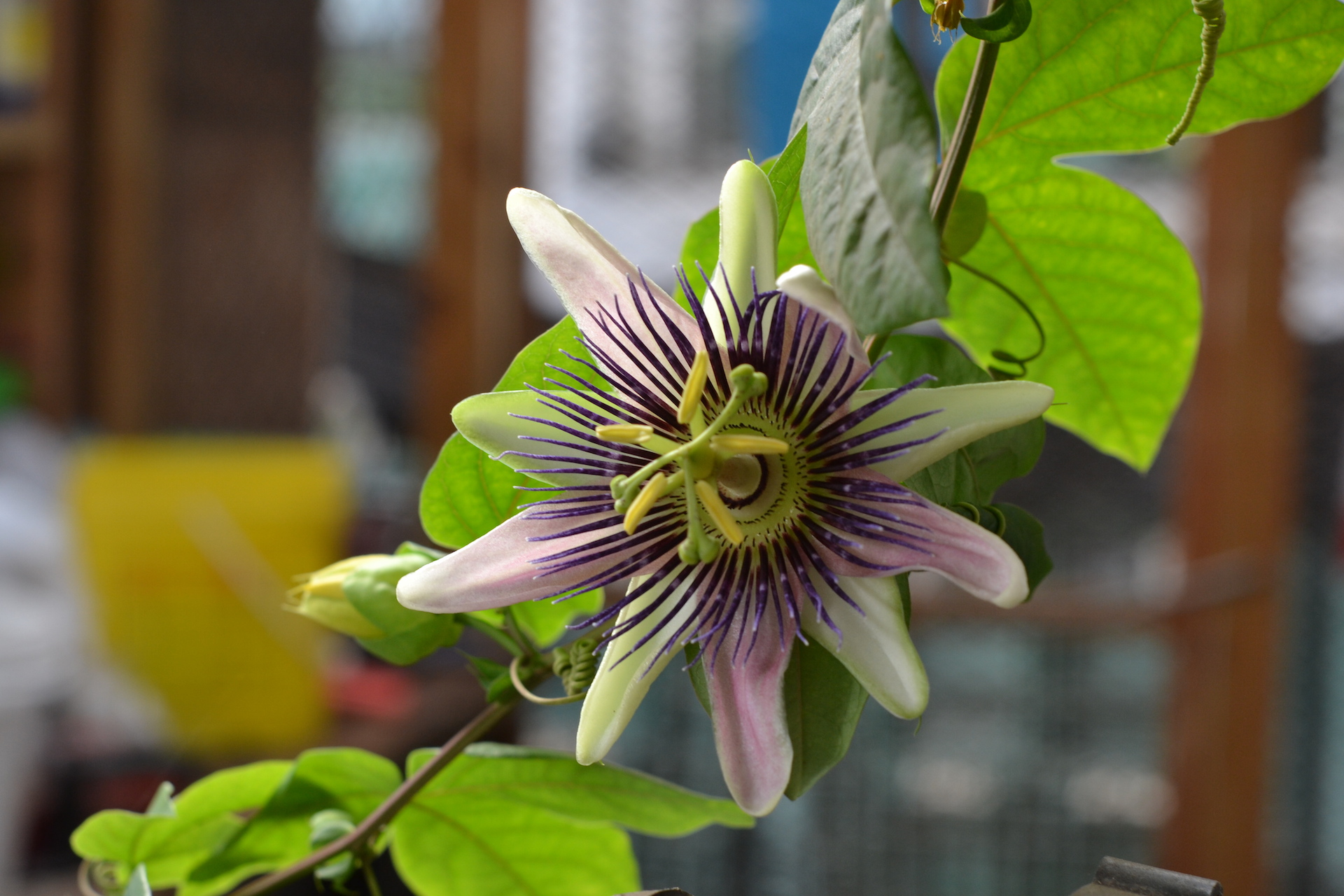 Flower blooming inside greenhouse, species unknown.